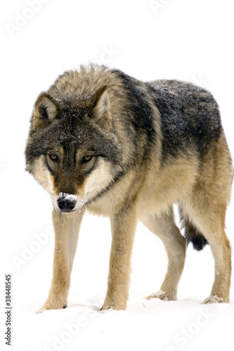 Foto op Aluminium Wolf Gray wolf (Canis lupus) isolated