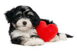 Lover Valentine Havanese puppy dog