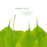 Bodhi leaves, spiritual Buddhism tree poster