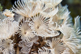 Social Feather-Duster Worms poster