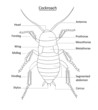Cockroach anatomy- line art with labels isolated on white
