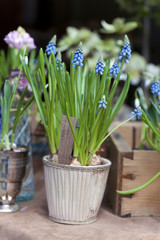 First Blue Springs flowers (Muscari) in a pot