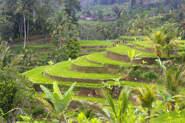 Rise fields in Bali