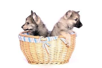 zwei Wolfshund Welpen im Korb