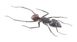 Giant forest ant, Camponotus gigas isolated on white background poster