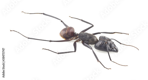Giant forest ant, Camponotus gigas isolated on white background