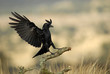 Cuervo aterrizando en la rama