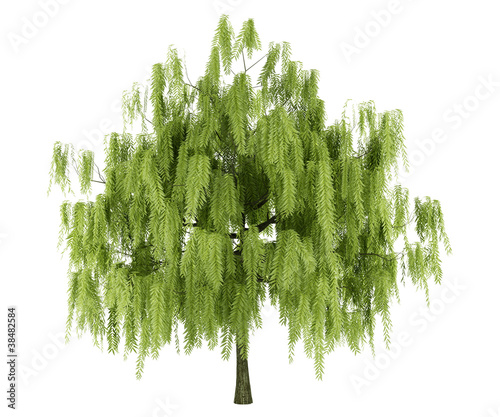 willow tree isolated on white background
