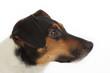 portrait chien Jack Russel terrier