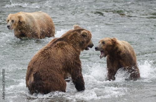 Alaskan niedźwiedzie fighting