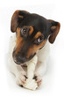 chien Jack Russel terrier rongeant un os