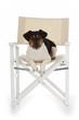 chien Jack Russel terrier sur chaise régisseur vedette