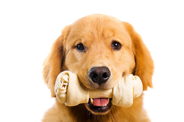 Golden Retriever dog with a bone