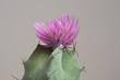 lila Kaktus im Detail