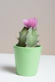 Kaktus in pink