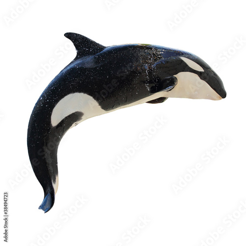 Poster Leaping Killer Whale, Orcinus Orca
