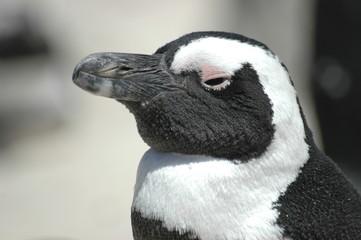 tête de pingouin