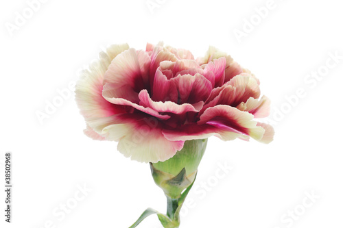 Yellow purple carnation isolated on white background