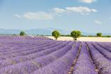 Fototapety lavender field, Plateau de Valensole, Provence, France