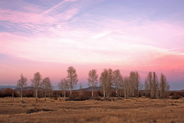 Pink Sunset Aspen Trees
