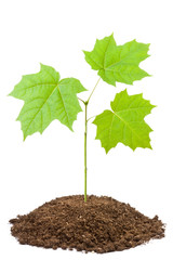 Green sapling of young maple