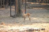Brow-Antlered Deer poster