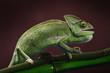 Fototapeten,chamäleon,grün,gekko,schwarz