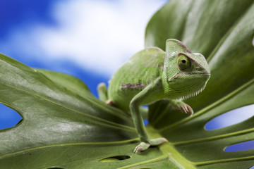 Green chameleon on leaf