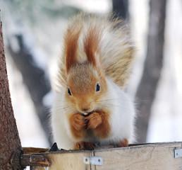 winter  squirrel nibbles walnut