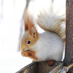 winter white squirrel sitting on rack