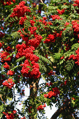 red ash (Sorbus aucuparia L)