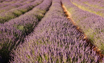 Lavender field, Franschhoek, South Africa