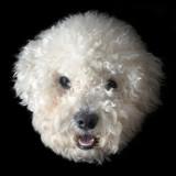 Bichon frise dog poster