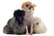 jeune poules nègre soie et chihuahua