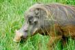 Warthog in Murchison Falls National Park (Uganda)