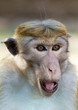 Portrait of Ceylon macaque closeup