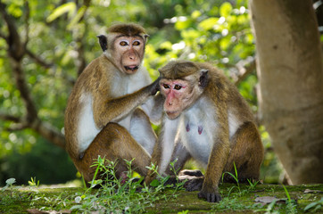 pair of adult macaques Bonnet