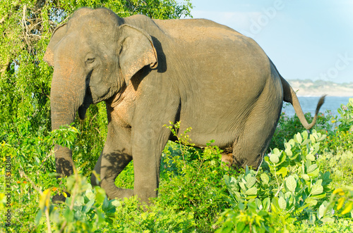 adult male Indian elephant in the wild