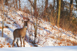 A watchful deer stands still in the snow