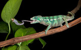 Chameleon catches cricket