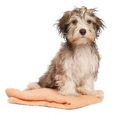 Wet chocolate havanese puppy dog after bath