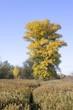 big aspen in autumn