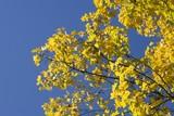 autumn - maple