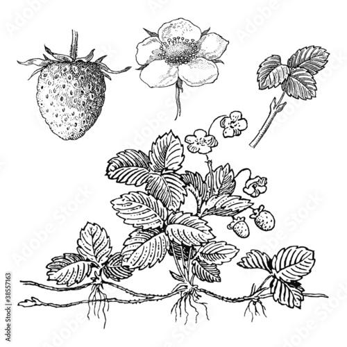 Plant de fraisier fichier vectoriel libre de droits sur la banque - Quel fraisier choisir ...