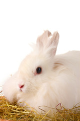 Fluffy white rabbit in a haystack isolated on white
