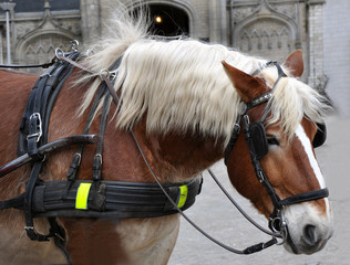 Profile of a carriage horse close up