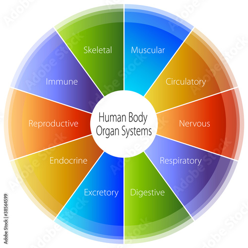 Human Body Organ Systems Chart