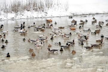 Ducks in the like