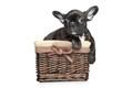 French bulldog puppy lies in basket