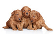 Toy-poodle puppies (20 days) on a white background